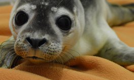 Article: Meet Sealonardo DiCaprio, a Rescued Seal With an Important Message