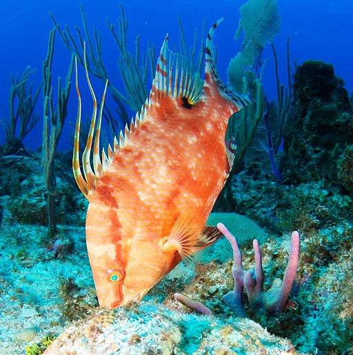 Hogfish (1).JPG