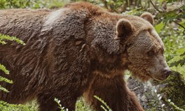Article: Climate Change Is Causing Bears to Emerge From Hibernation Early