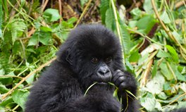 Article: Mountain Gorillas Come Back From Edge of Extinction in Major Conservation Win