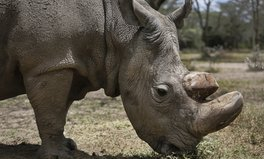 Artikel: The World's Last Male Northern White Rhino Has Just Died