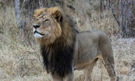 Article: What really killed Cecil the lion?–why it's not one person's fault
