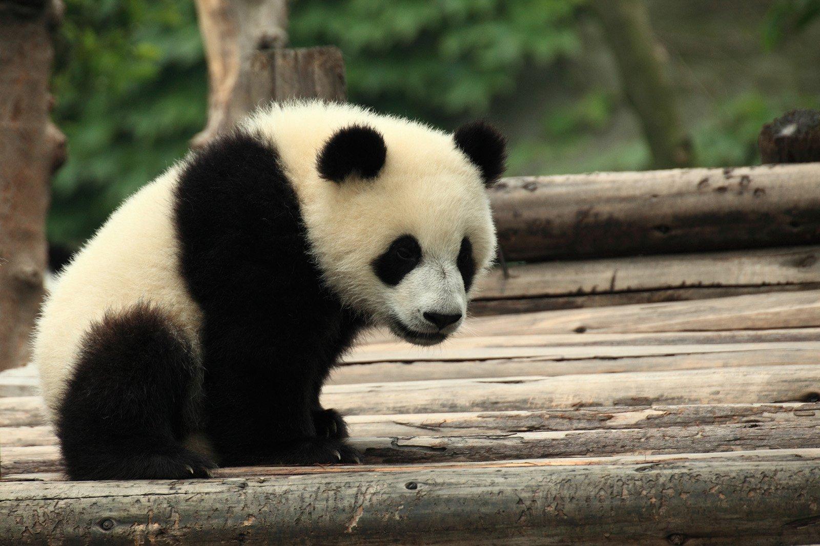 China Panda Virus Kills Two Pandas, Leaves Third In