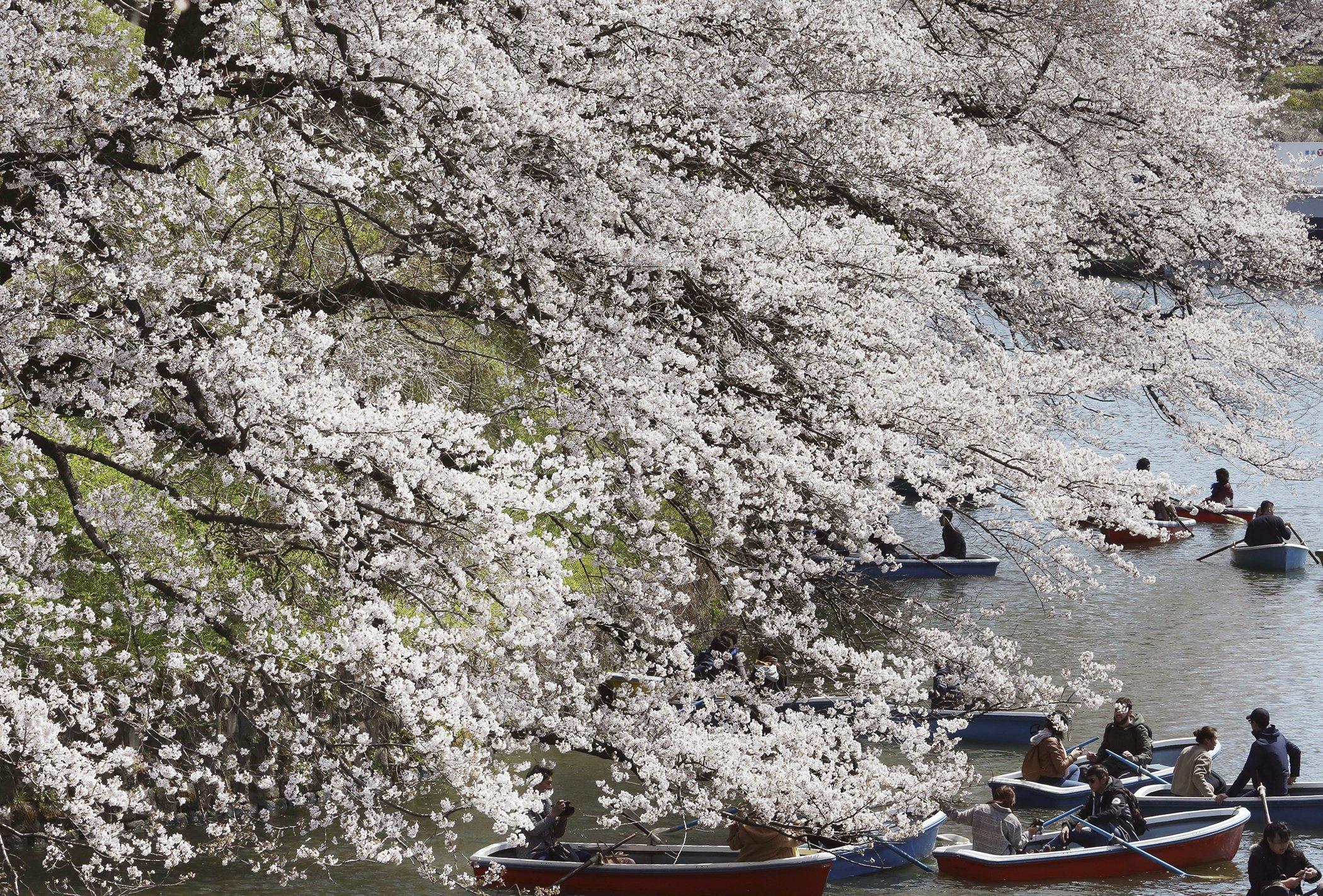 Cherry-Blossoms-Spring-Japan.jpg