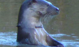 Article: An Otter Has a Cable Tie Caught Round Its Neck and It's Heartbreaking