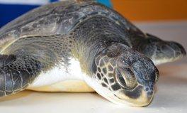 Artikel: Rescatan una tortuga marina con gran cantidad de basura en su estómago