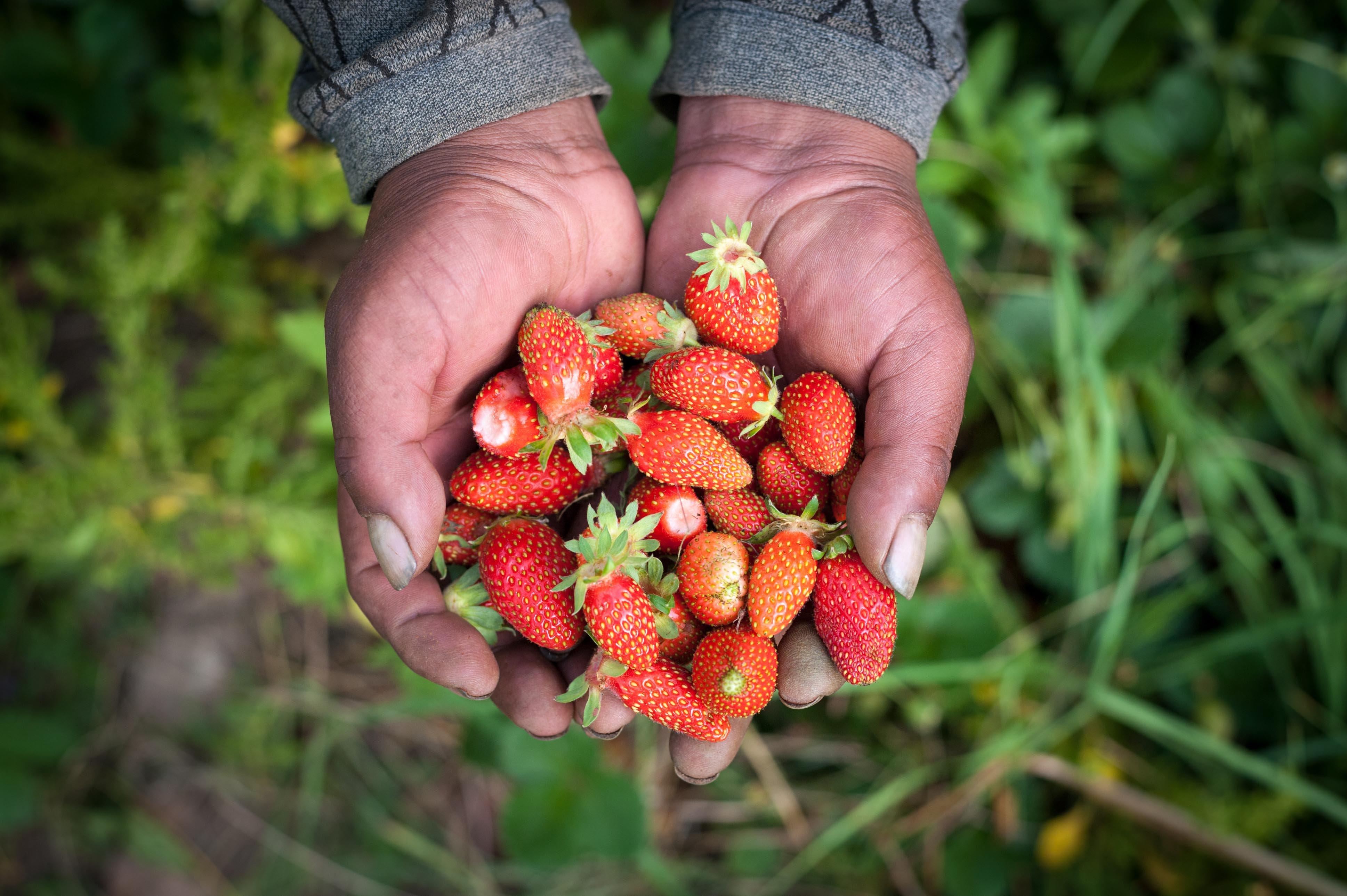 strawberries_Bolivia.jpg