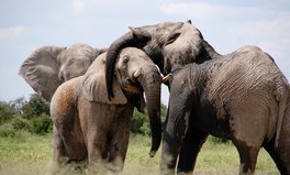 Article: Elephants Could Be the Next Generation's Dinosaurs