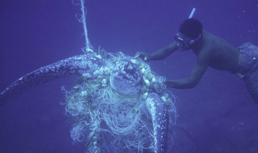 Sea turtle caught in gill net