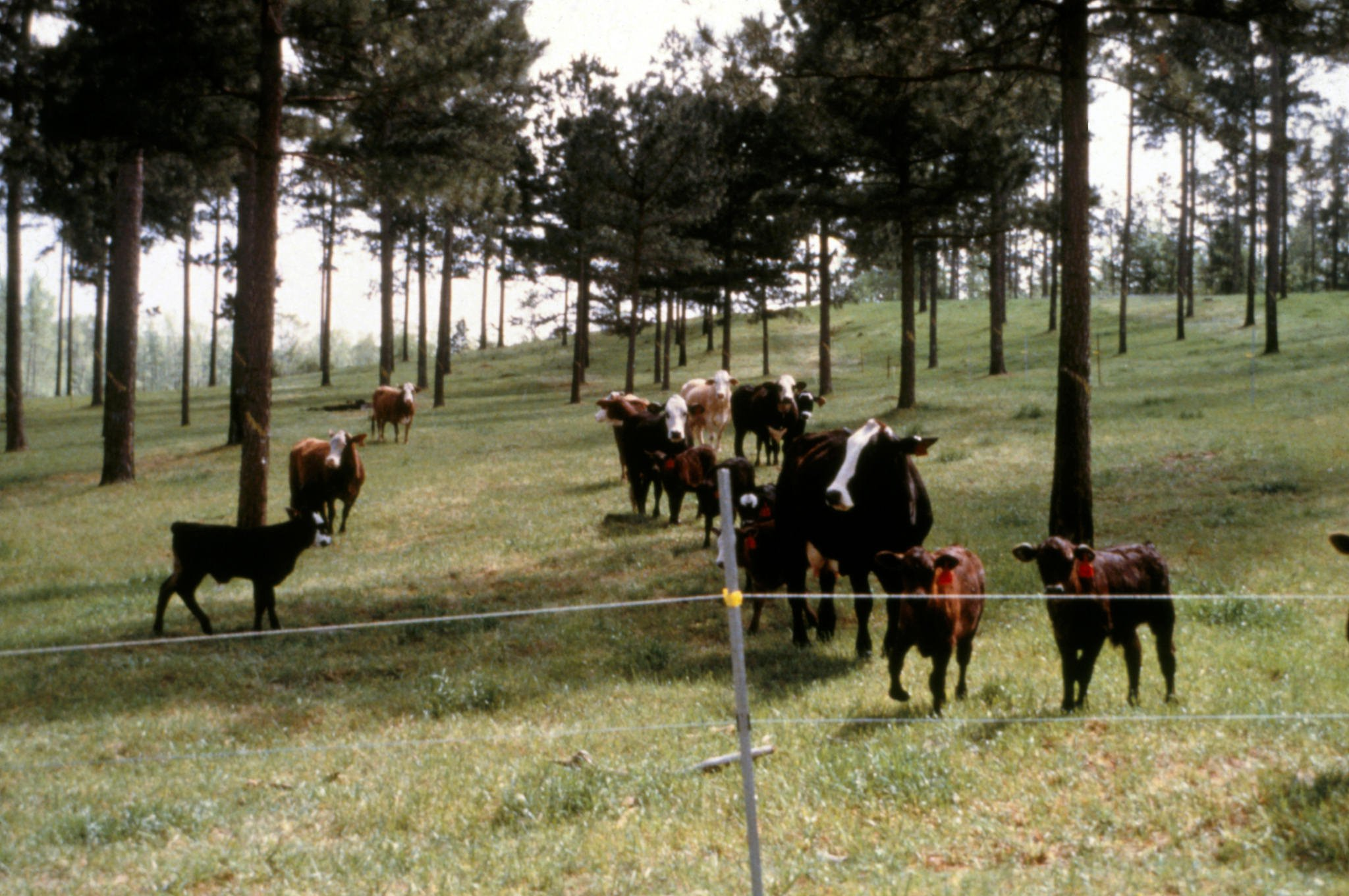 Silvopasture, sustainable agriculture and livestock raising