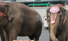 Article: The Ringling Bros. finally free circus elephants!