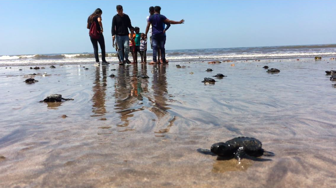 Baby Turtles Return In Mumbai After Largest Beach Clean Up In History