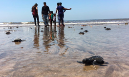 Artikel: Baby Turtles Return in Mumbai After 'Largest Beach Clean-Up' in History