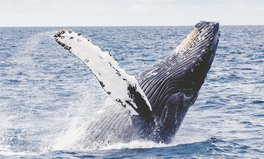 Article: Whales Enjoy Unexpected Break From Ocean Noise Pollution Amid COVID-19 Pandemic