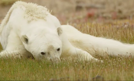 Article: Viral Video of a Starving Polar Bear Tells a Bigger Story
