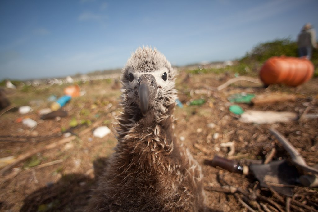 Seabird_plastic_pollution_flickr