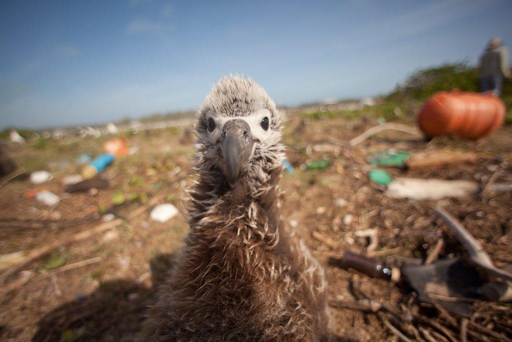 Seabird_plastic_pollution_flickr