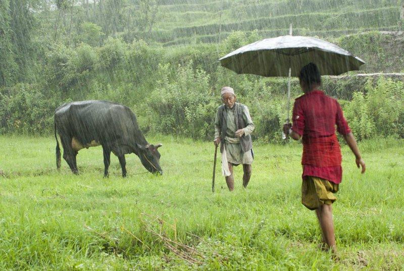 Cow in the Rain.jpg