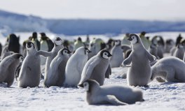 Article: One of Antarctica's Biggest Areas For Emperor Penguins Is Frighteningly Empty