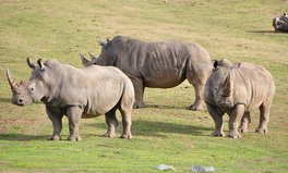 Article: 80 Rhinos headed to Australian sanctuary in an ambitious move to save the species