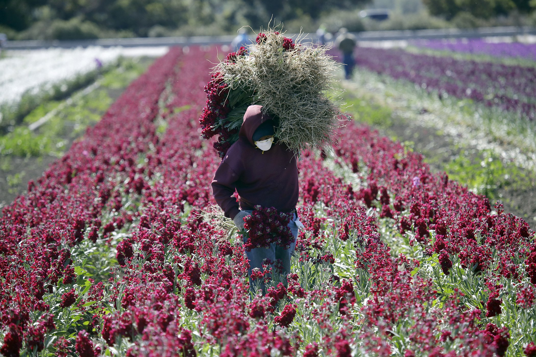 California-COVID-19-Farmworkers-Agriculture.jpg
