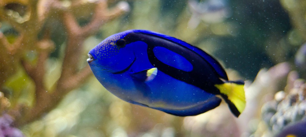 Why You Shouldn't Find A Blue Tang 'Dory' Fish In Your Tank