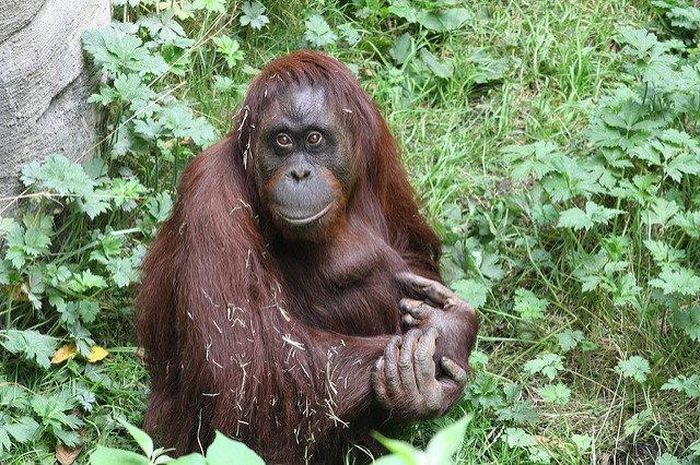 Orangutan-DonMcCrady-Flickr.jpg