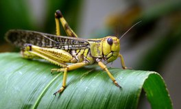 Article: Swarms of Locusts Are Eating Their Way Through East Africa and Threatening Severe Food Shortages