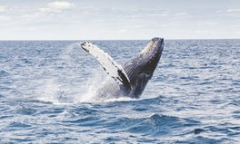 Artículo: Sperm Whales Pop Up in the Arctic in Startling Sign of Climate Change