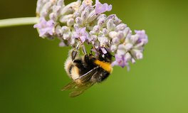 Video: The hidden health benefits of bee stings