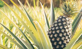 Video: How pineapples are becoming a longterm solution to hunger