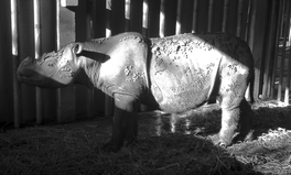 Artículo: Sumatran Rhinos Are Now Extinct in Malaysia After Death of Last Living Female