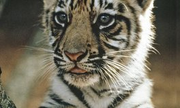 Article: It's International Tiger Day. Here's How You Can Help Save Them