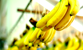Article: Scientists Are Racing Against Time to Stop Bananas From Being 'Wiped Out'