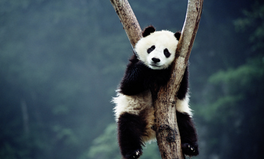 Article: These 7 Cuddly Pandas Will Make Your Worries Go Away