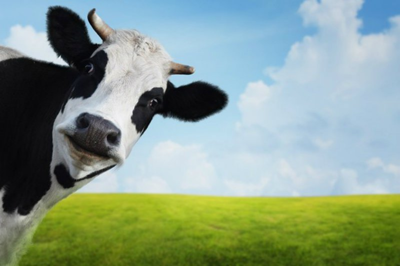 Evil Cow 3.jpg