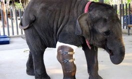 Article: You have to see the prosthetic leg on this 4,000-pound elephant