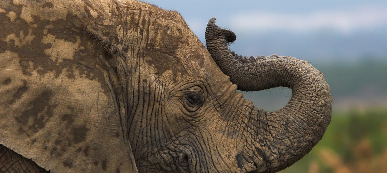Major Elephant Refuge Goes Entire Year Without a Single Poaching