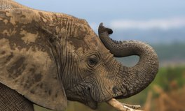 Article: Trump Administration Will Allow Hunters to Import Elephant 'Trophies' from African Hunts