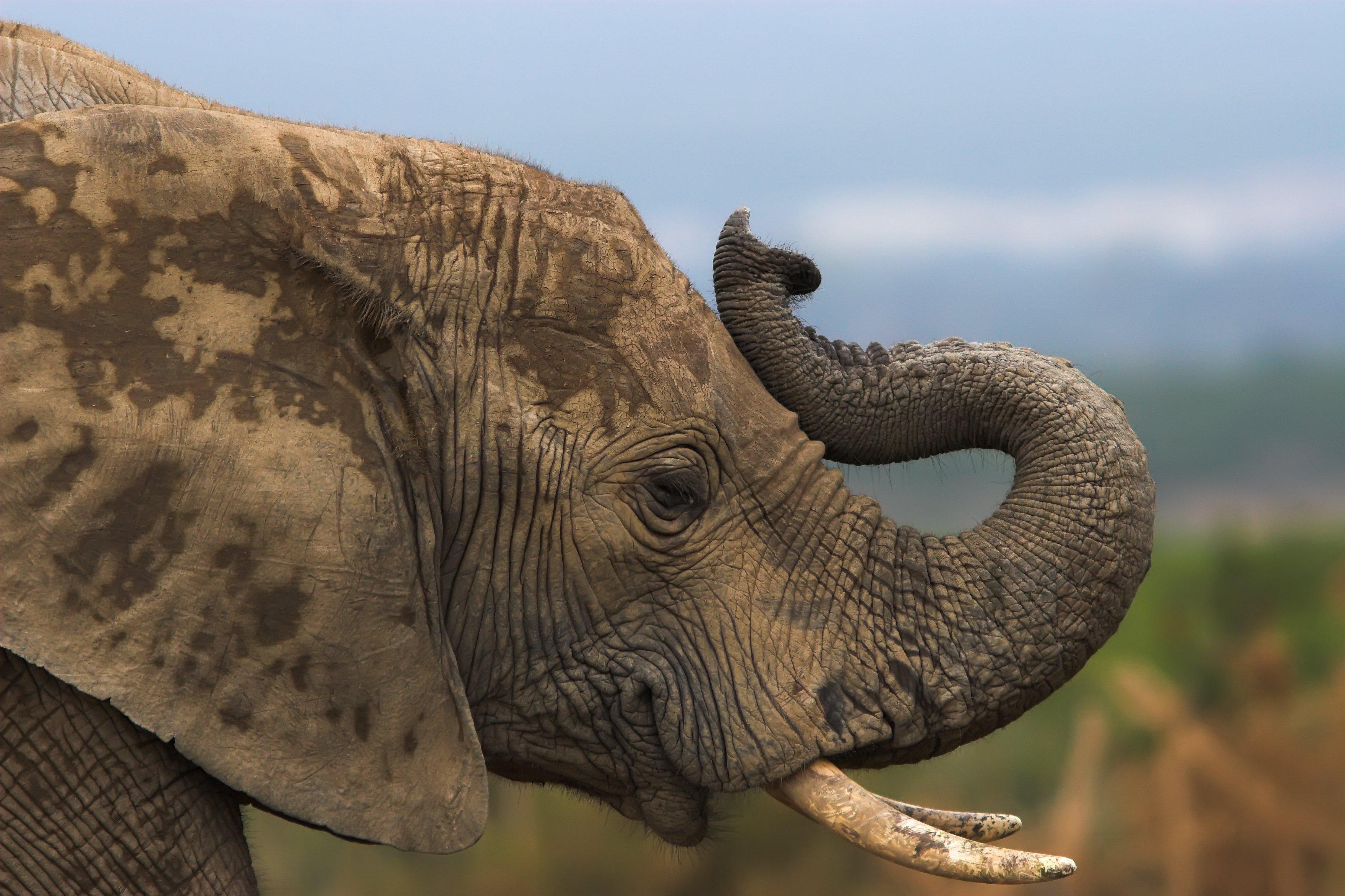 African elephant trumpeting.jpg