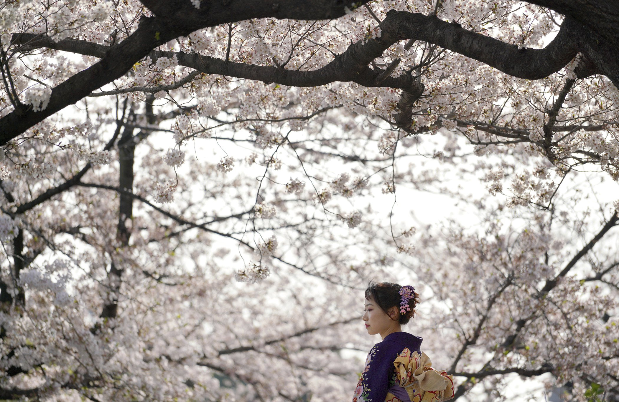 Cherry-Blossoms-Japan.jpg
