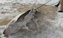 Article: Sharks Are Freezing to Death in the Arctic Outbreak
