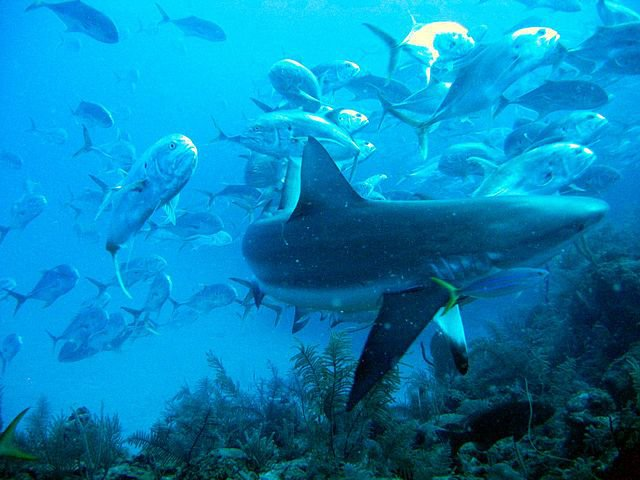 Caribbean reef shark surrounded by jacks