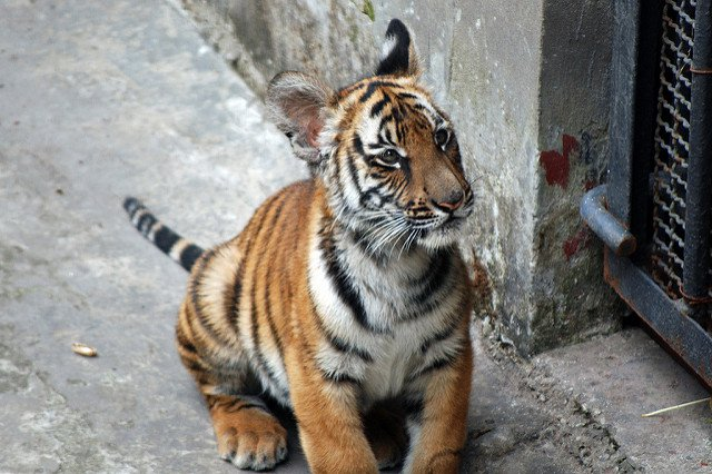 Tiger-HarveyBarrison-Flickr.jpg
